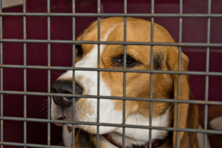 Young beagle trapped behind metal fence photo