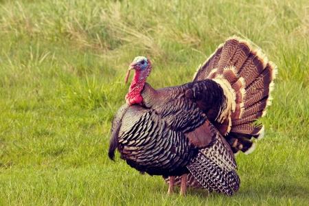 Thanksgiving Turkey Tom stolzieren und zeigt seine Federn Standard-Bild - 14126516
