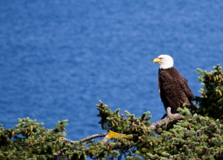 Bald eagle perched on pine tree photo
