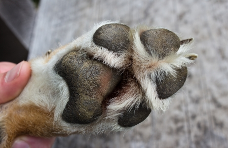 Vet inspection of dog paw photo