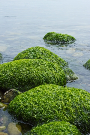 algae: Green Algae on rocks in Ocean Stock Photo
