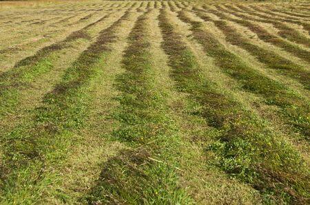 cut grass: Green grass freshly cut in rows on farm land