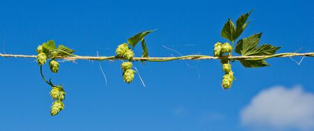 hop plant: Hop plant growing horizontal on natural string