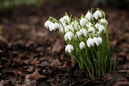 galanthus: Early spring flower  galanthus nivalis  against brown ground Stock Photo