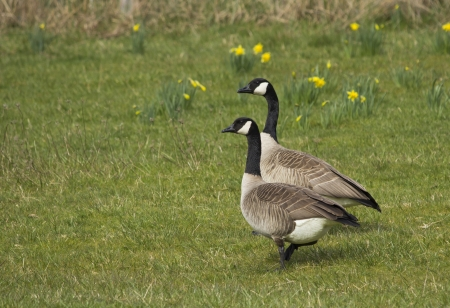 canada goose: Two Canada geese in a fresh spring field with flowers