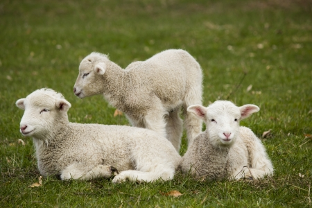 Three lamb siblings sitting in a green grass pasture