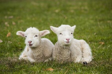 Paar Lamm Geschwister in grünes Gras der Weide auf Bauernhof Standard-Bild - 24144683
