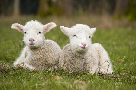 Paar Lamm Geschwister in grünes Gras der Weide auf Bauernhof Standard-Bild - 24144689