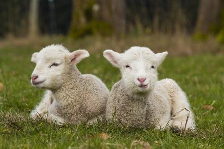 Paar Lamm Geschwister in grünes Gras der Weide auf Bauernhof Standard-Bild - 24144690