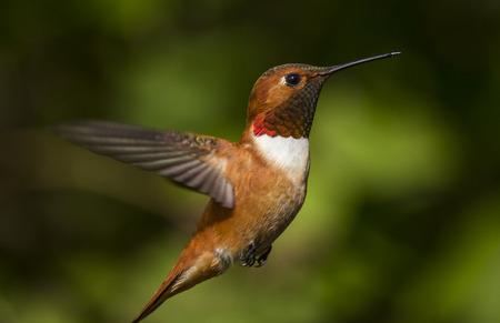 自然の緑の背景に飛んでいる鳥をハミング 写真素材 - 25887835