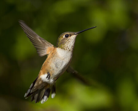 ruby throated: Humming bird flying against natural green background