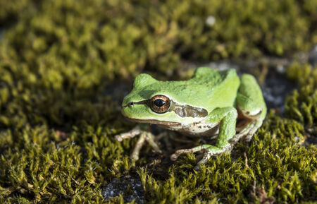 Tree frog relaxing on forest floor of moss photo
