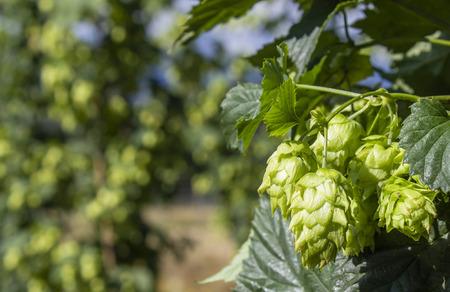 Row von Hopfenpflanzen natürlich wachsenden Standard-Bild - 36869936