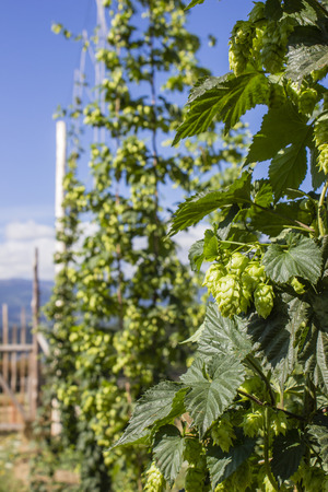 Row of hop plants naturally growing