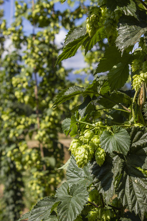 hopfield: Row of hop plants naturally growing