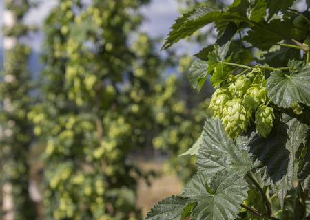 hopgarden: Row of hop plants naturally growing