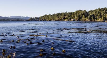 Bull Kelp im Pazifischen Ozean auf Vancouver Island Standard-Bild - 36869974