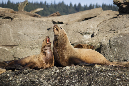lions rock: Two Steller Sea Lions laying on rock Stock Photo
