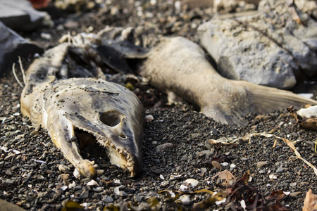 rotting: Dead, decaying salmon rotting on beach