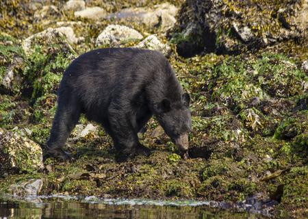 black bear: Black Bear in Canada Searching for food