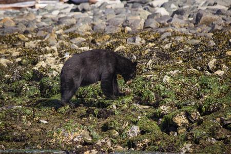 Black Bear in Kanada Auf der Suche nach Nahrung Standard-Bild - 48342919