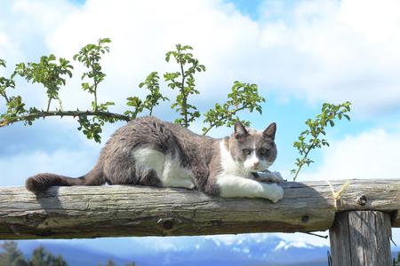 Weiß und Grau Katze schärft Krallen Standard-Bild - 51514872