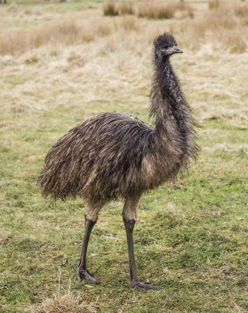 Große Emu Vogel, stehend im Feld Standard-Bild - 51514883