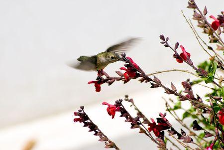 Hummungbird