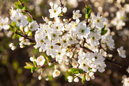 blooming apple tree with white beautiful flowers photo