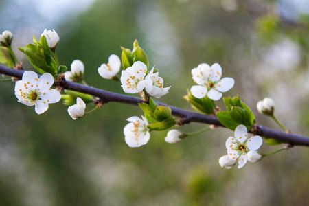 branch of a blossoming tree with beautiful white flowers photo