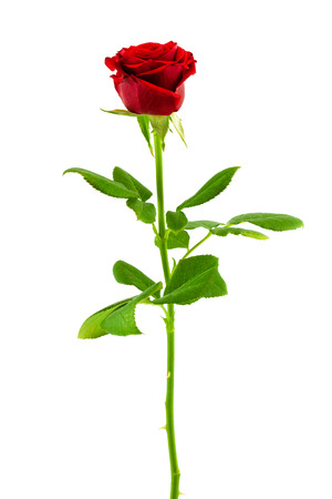 long stem: bright red rose isolated on white background Stock Photo