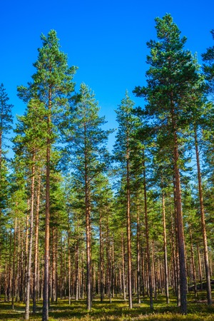 pine forest, blue sky,  sunny summer day photo