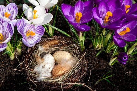 Easter eggs in nest with crocuses photo