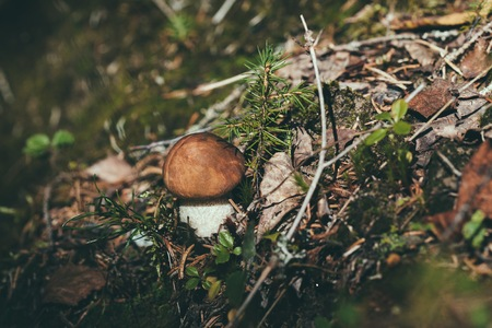 small edible mushroom in the woods in Finland