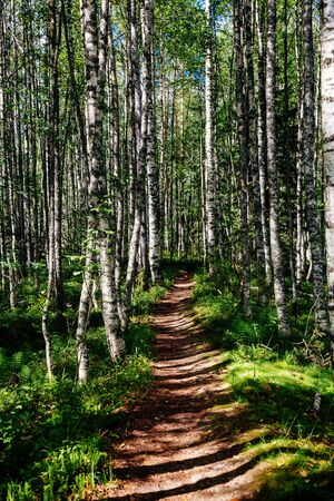 Foot path in an aspen forest in Scandinavian national park