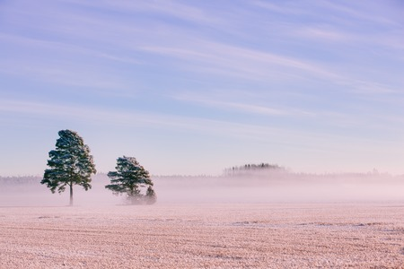 covered fields: Morning winter landscape. Snow trees and frosty fog on the field in rural Finland Stock Photo