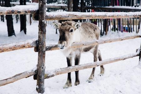 Lapland에서 눈 겨울 숲 농장에서 아기 순 록. 핀란드 스톡 콘텐츠 - 89608309