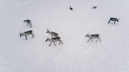 Aerial view of reindeer herd in snowy winter Lapland Finland 스톡 콘텐츠