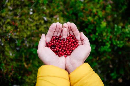 Red lingonberry berries in the fall. Tasty berries in woman hands. Standard-Bild