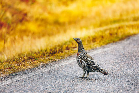 Female Capercaillie hen by the road in Finland