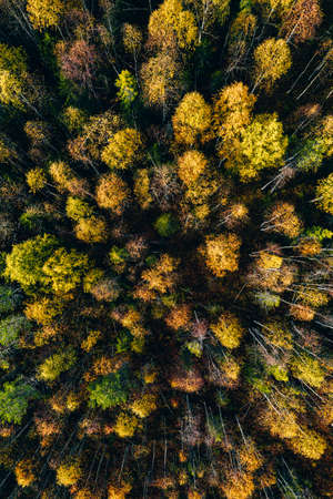 Aerial top view of yellow and orange autumn trees in forest in rural Finland. Drone photography Standard-Bild