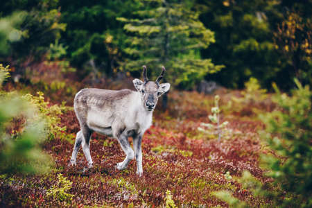 Young reindeer in fall forest in Lapland, Finland.