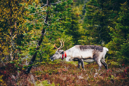 Beautiful reindeer in fall forest in Lapland, Finland. Wild deer with big horns.