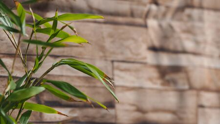 Bamboo leaves turning brown in winter with wood texture in the background. Stok Fotoğraf