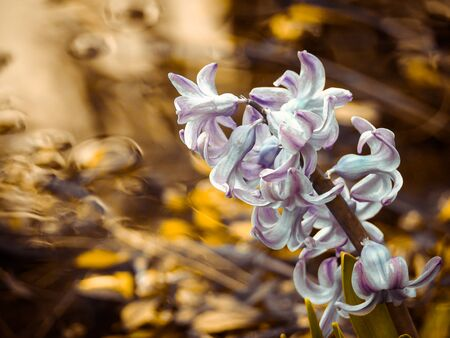 Soft focus image of hyacinth flowers blooming at springtime. Violet hyacinth blossom near a river.