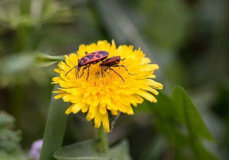 Two firebugs, Pyrrhocoris Apterus, feeding on a beautiful yellow dandelion Taraxacum officinale flower against green background