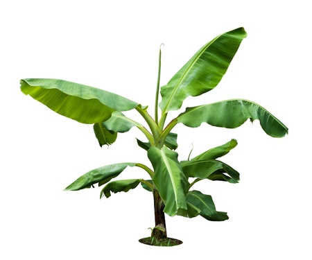 One young banana tree isolated on white Stock Photo - 9945119