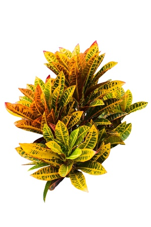 Croton plants with colorful leaves  photo