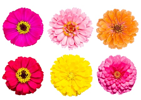 Collection of blooming zinnia flower photo