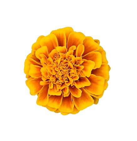 Orange  marigold isolated on white background